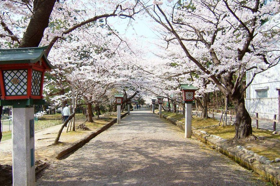 弥彦公園の桜