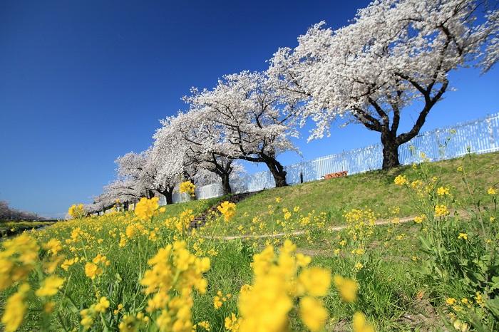 春の佐奈川堤